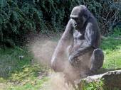 Gorilla is playing with sand — Stock Photo