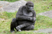 Young gorilla sitting on grass — Stock Photo
