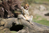 Young Berber Monkey — Stock Photo