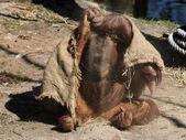 Orangutan sitting on ground — Stock Photo