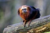 Lion tamarin on log — Stock Photo
