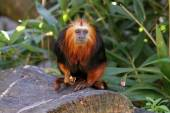 Lion tamarin on the log — Stock Photo