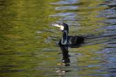 Black cormorant in water — Stock Photo