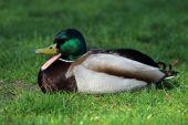 Drake duck on grass — Stock Photo