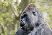 Black Silverback portrait — Stock Photo
