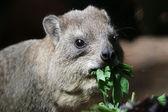 Hyrax eating grass — Stock Photo