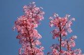 Toona sinensis blossom — Stock Photo