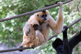 Two Gibbons on rope — Stock Photo