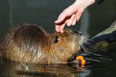 Bever rat in water — Stock Photo