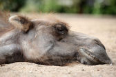 Camel sleeping on the sand — Stock Photo