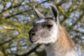 Lama portrait close up — Stock Photo