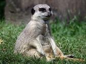 Meerkat on green grass — Stock Photo