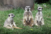 Family of Meerkats in grass — Stock Photo