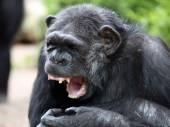 Šimpanz portrét zblízka — Stock fotografie