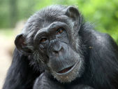 Chimpanzee portrait close up — Stock Photo