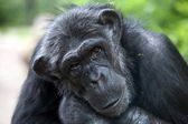 Chimpanzee portrait close up — Stock Photo