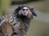 Callithrix pencillata primate — Stock Photo