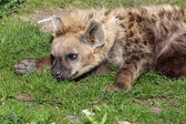 Hyena laying on grass — Stock Photo