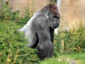 Silverback gorilla sitting — Stock Photo