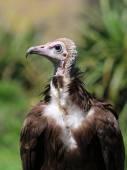 White head vulture — Stock Photo