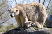 Polar bear moeder met kind — Stockfoto