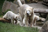 Polar bear mother with two cubs — Stock Photo