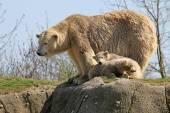 Polar bear moeder met twins — Stockfoto