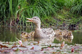 Duck with chicks in water — Stock Photo