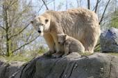 Polar bear mother with child — Stock Photo