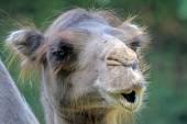 Head of cute camel — Stock Photo
