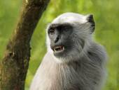 Langur monkey near the tree — Stock Photo