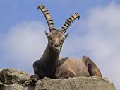 Male alpine ibex — Stock Photo