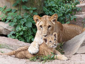 Lions lying on ground — Stock Photo