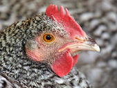 Dutch blue chicken — Stock Photo