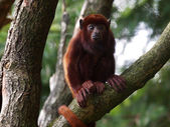 Howler monkey on tree — Stock Photo