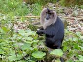 Lion tailed monkey — Stock Photo