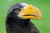 Aquila di mare di Steller — Foto Stock