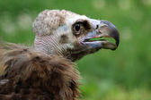Cinereous vulture with green background — Stock Photo