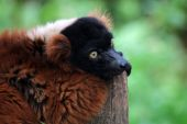 Red lemur sitting on fence — Stock Photo