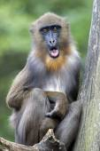 Young male mandrill — Stock Photo