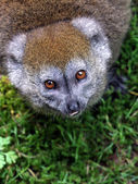 Red bellied lemur — Stock Photo