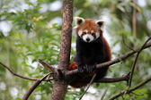 Red panda on tree — Stock Photo