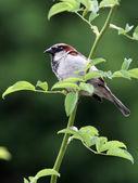 Sparrow bird sitting on tree — Stock Photo