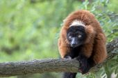 Red Lemur on tree — Stock Photo