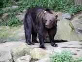 Bear standing on stone — Stock Photo