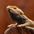 Close up of Agama lizard — Stock Photo #80935882