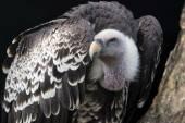 Gyps rueppellii bird — Stock Photo