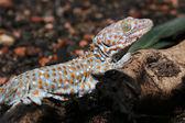 Gecko lizard creeps — Stock Photo