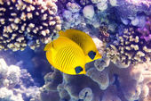 Bluecheek butterflyfish on coral — Stock Photo