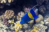 Blauer Sichel-Kaiserfisch in Red Sea, Egypt — Stock Photo